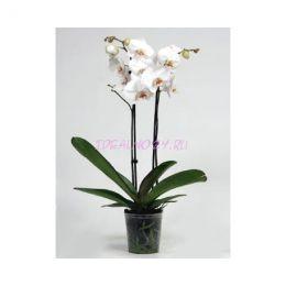 Орхидея Белая 2ст. 12/60